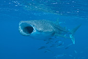 Mouth Open Prints - Whale Shark, Ari And Male Atoll Print by Mathieu Meur