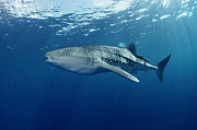 Whale Shark Metal Prints - Whale Shark Cocos Island Metal Print by Flip Nicklin