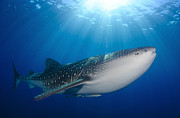 Carpet Photo Posters - Whale Shark Feeding Under Fishing Poster by Steve Jones
