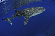 Marine Biology Prints - Whale Shark Near Surface With Sun Rays Print by Mathieu Meur