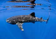Mujeres Prints - Whale Shark Off Coast Of Isla Mujeres Print by Karen Doody