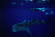 Whale Shark Metal Prints - Whale Shark (rhincodon Typus) And Diver Metal Print by Robert Halstead