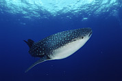 Whale Shark Metal Prints - Whale Shark Rhincodon Typus Metal Print by Jurgen Freund