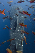 Galapagos Islands Posters - Whale Shark Rhincodon Typus Swimming Poster by Pete Oxford