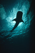 Whale Shark Metal Prints - Whale Shark Silhouette Cocos Island Metal Print by Flip Nicklin