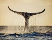 Gentle - Whale Tail at Sunset by Monica & Michael Sweet - Printscapes