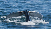Whale Photo Originals - Whale Tail by Joe Grimando