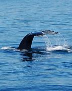Ocean Photo Metal Prints - Whales Tale Metal Print by Lisa Kane