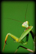 Praying Mantis Photos - What Are YOU Looking At by Lila Fisher-Wenzel