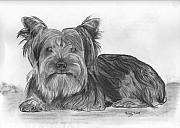 Yorkie Drawings - What Can I Get Into Now by Russ  Smith