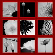 Crocus Prints - What is Black and White and Red All Over  Print by Lisa Knechtel