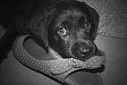 Black Lab Photos - What Shoe by Cathy  Beharriell