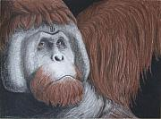 Orangutan Drawings - What the Future Holds by Heather Ward
