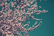 Cherry Blossoms Photos - What This New Life Will Bring by Laurie Search