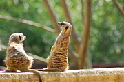 Meerkat Posters - What Was That Noise Poster by Wanda Jesfield