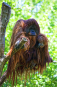 Orang-utan Framed Prints - Whats up Framed Print by Heiko Koehrer-Wagner