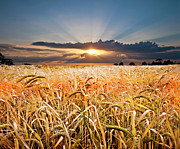 Sunset Sky Posters - Wheat At Sunset Poster by Meirion Matthias