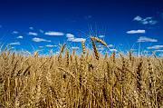 Wheat Photos - Wheat Field by Bob Mintie