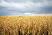 Field. Cloud Framed Prints - Wheat Field Under Dark Clouds Framed Print by Adrian Studer