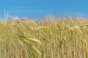 Urban Scene Art - Wheat Stalks In Field by Gil Guelfucci
