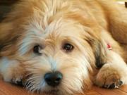 Wheaten Terrier 1 Print by Vijay Sharon Govender