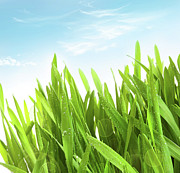 Grassy Posters - Wheatgrass against a white Poster by Sandra Cunningham