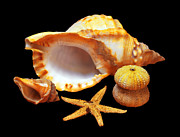 Sea Shell Metal Prints - Whelk Metal Print by Carlos Caetano