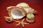 Sea Shell Metal Prints - Whelks Metal Print by Carlos Caetano