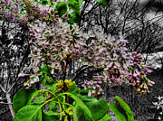 Blossoming Originals - When Lilacs Last in the Dooryard Bloomed by William Fields
