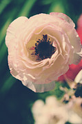 Ranunculus Prints - When Love Was Fresh and New Print by Laurie Search