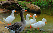 Greylag Prints - Where Ducks Gather Print by Olahs Photography