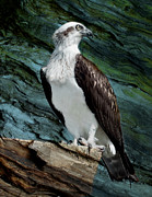 Australian Wildlife Prints - Where Eagles Dare Print by Heather Thorning