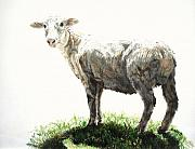 Shorn Sheep Framed Prints - Where is my wool Framed Print by Kathy Roberts