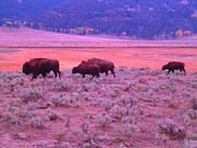 Ann Johndro-collins Prints - Where the Bison Roam Print by Ann Johndro-Collins