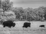Grazing Snow Metal Prints - Where the Buffalo Roam Metal Print by Jane Linders