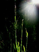 Gasses Prints - Where The Tall Grass Grows Print by Ken Day