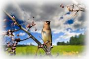 Cedar Photo Posters - Where The Waxwings Used To Dwell Poster by Bob Orsillo