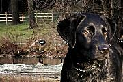 Black Lab Digital Art Metal Prints - Wheres The Geese Labrador 4 Metal Print by Cathy  Beharriell