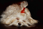 Sleeping Maltese Prints - While Sugarplums Danced Print by Lois Bryan