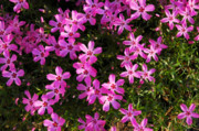 Phlox Photo Prints - Whims Print by Valerie Rakes