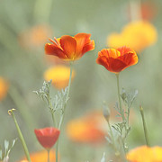 Orange Poppy Prints - Whimsical Summer Print by Kim Hojnacki