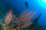 New Britain Prints - Whip Sea Fan With Elephant Ear Sponge Print by Steve Jones