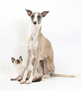 Whippet Framed Prints - Whippet & Siamese Kitten Framed Print by Mark Taylor