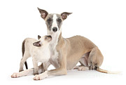 Whippet Prints - Whippet And Siamese Kitten Print by Mark Taylor