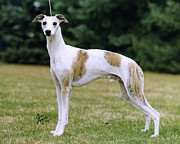 Whippet Dog Framed Prints - Whippet Framed Print by Chris Lynch