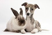 Whippet Framed Prints - Whippet Pup With Colorpoint Rabbit Framed Print by Mark Taylor