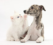 Whippet Framed Prints - Whippet Puppy And Kitten Framed Print by Mark Taylor