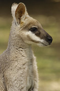 Wallaby Photos - Whiptail Wallaby Macropus Parryi by Pete Oxford