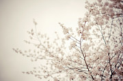 Cherry Blossoms Posters - Whisper - Spring Blossoms - Central Park Poster by Vivienne Gucwa