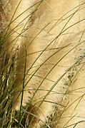 Pampas Grass Framed Prints - Whisper Framed Print by Jeffrey Campbell
